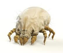 Dermatophagoides pteronyssinus acaro della polvere