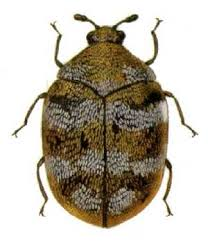 Anthrenus Verbasci scarabeo dei tappeti