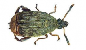 Acanthoscelides Obtectus Tonchio dei Legumi