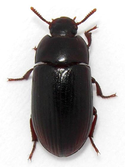 Alphitobius Diaperinus Alfitobio