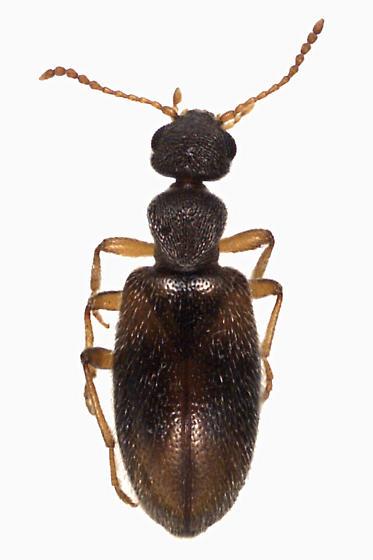 Anthicus spp. (Anticide)