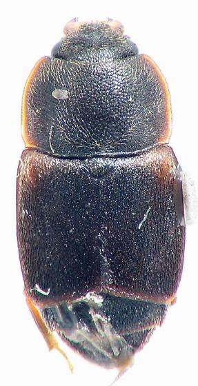 Carpophilus lugubris Murray