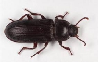 Coleottero Struggigrano (Tenebroides mauritanicus)