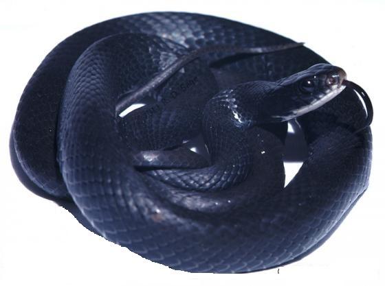 Coluber viridiflavus (Biacco)