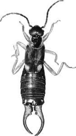 Forficula Auricularia