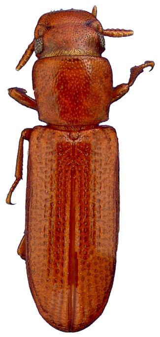 Latheticus oryzae (Latetico del riso)