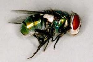Mosca Chrysomya Albiceps