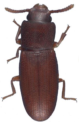 Palorus ratzeburgi (Tribolio dagli occhi piccoli)
