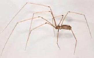 Ragno domestico