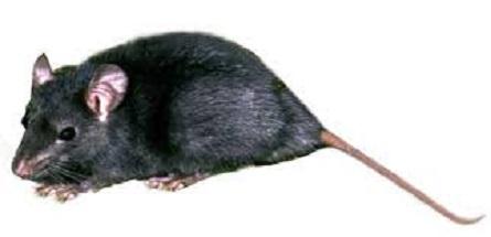 Ratto nero: ratto dei tetti