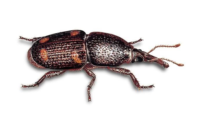 Sitophilus Zeamais (Punteruolo del mais)