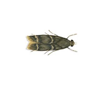 Tignola della frutta secca (Ephestia cautella)