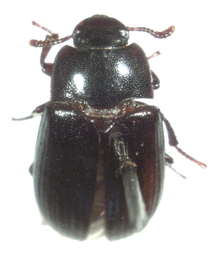 Alphitobius Diaperinus Tenebrione o Alfitobio