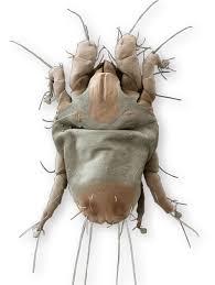 Acaro Glycyphagus acaro del prurito