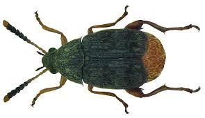 Acanthoscelides obtectus Tonchio del fagiolo